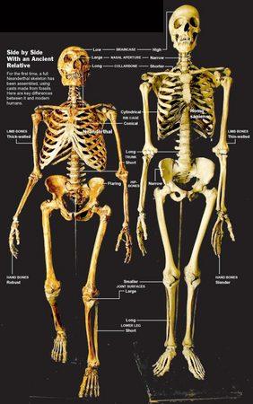 neanderthal neandertal muscular muscle apeman rickets bones fossil 3.jpg