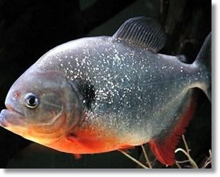 piranha 01.jpg